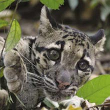 clouded_leopard_cub.jpg