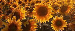 6386_sunflower