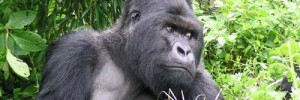 6933_Gorillas_In_Our_Midst