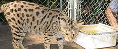 8718_savannahcat