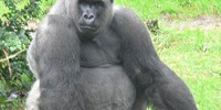 11262_silverback