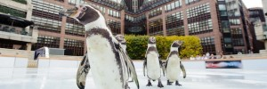 Five Humboldt Penguins take the inaugural skate on Broadgate Ice / Photo by Matt Crossick