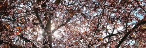 cherryblossom_220312