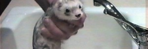 A ferret reluctantly takes a bath in a 1996 informational video called 'Ferret Fun and Fundamentals'. Courtesy of the Found Footage Festival, details below.