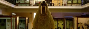 The Horniman's famous walrus. Photo courtesy of the Horniman Museum and Gardens