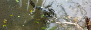 The pond is teeming with frogspawn and several frogs and newts came out to say hello