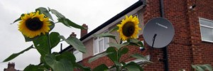 Waltham Cross sunflowers
